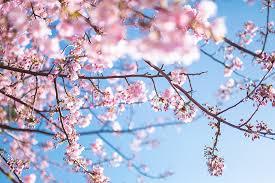 桜満開.jpg2